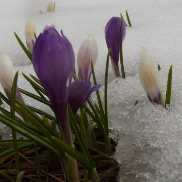 Crocus du printemps