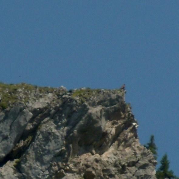 L'aigle royal (à droite)