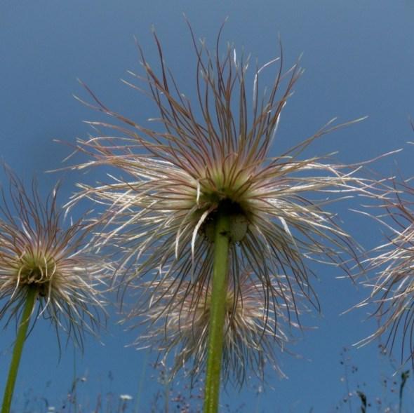 Pulsatille des Alpes (après la floraison)