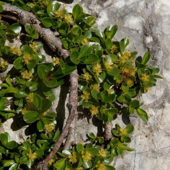 Saule à feuilles émoussée
