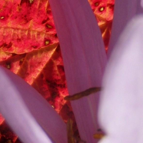 Colchique d'automne sur feuille rouge