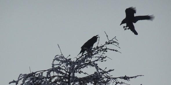 Les corbeaux se lèvent tôt